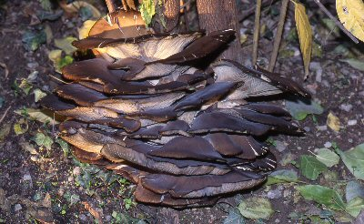 Foto di funghi: Pleurotus ostreatus