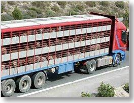 Fotografia di un camion rimorchio contenente animali vivi