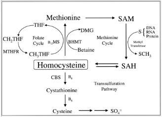 Vie metaboliche dell'omocisteina