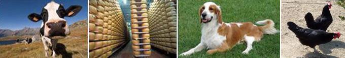 Immagine con mucca, formaggi e cane