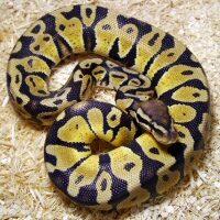 Fotografia di serpenti